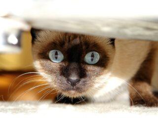 wedge siamese cat