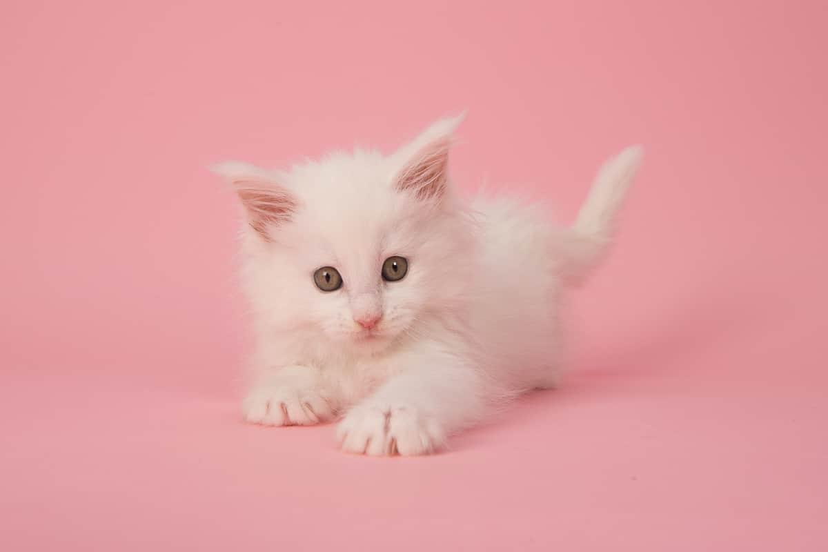 white maine coon kitten