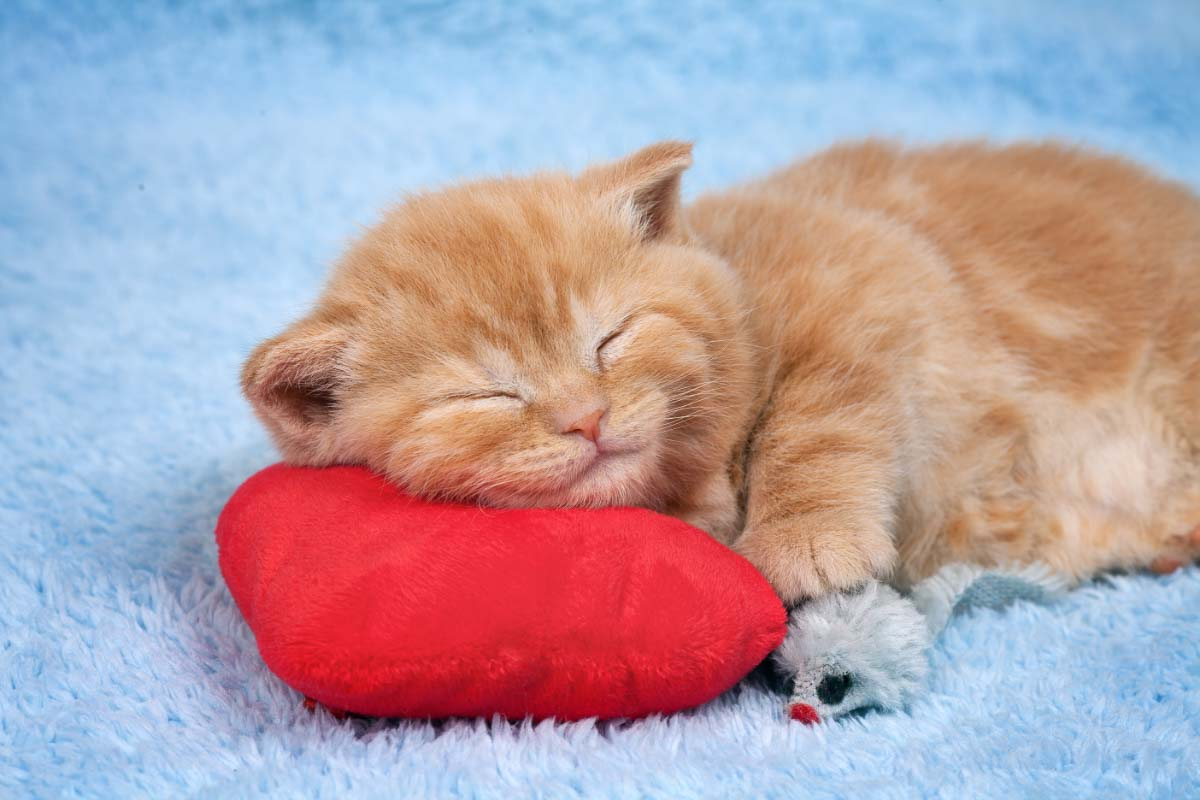 ginger cat asleep on red cushion