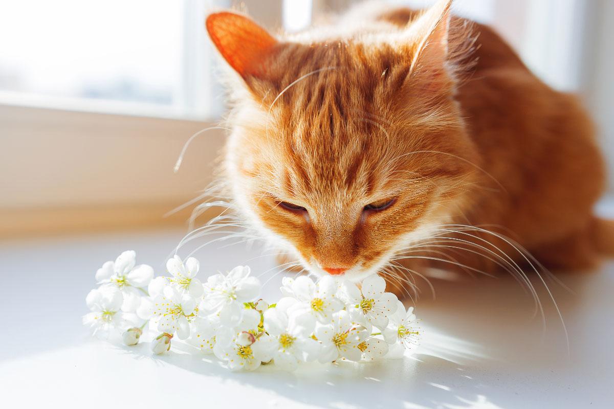 ginger cat sniffs white flowers