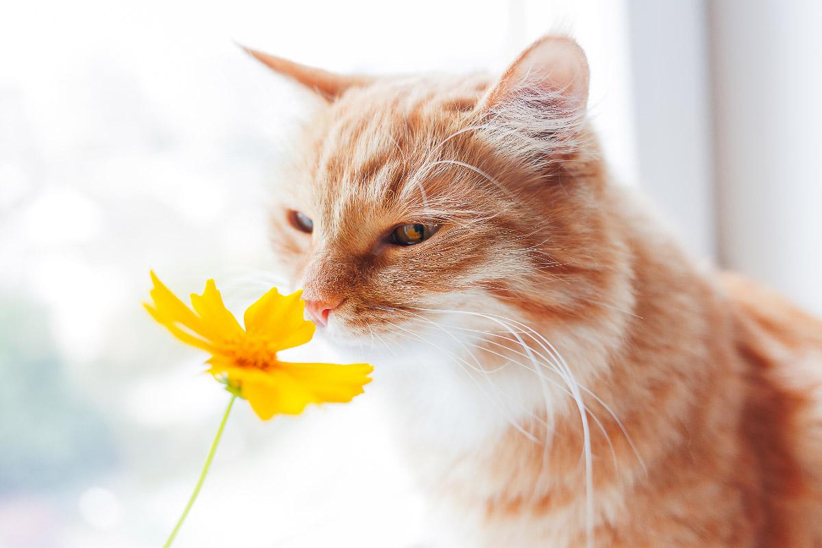 ginger cat sniffs yellow flower