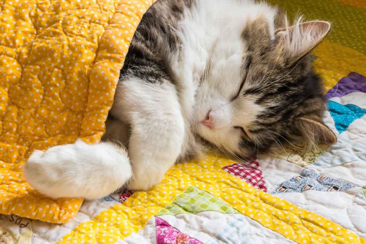 tabby cat asleep in blanket
