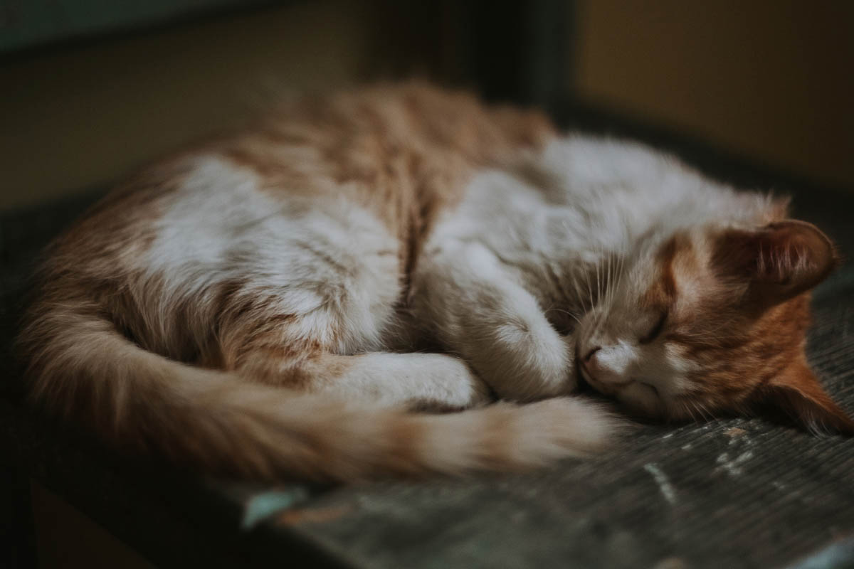 tabby cat asleep with tail