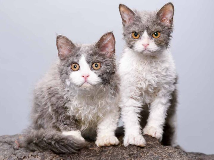 two grey and white selkirk cats