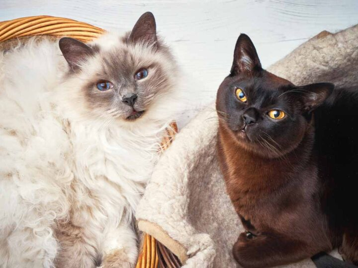 white and black burmese cats