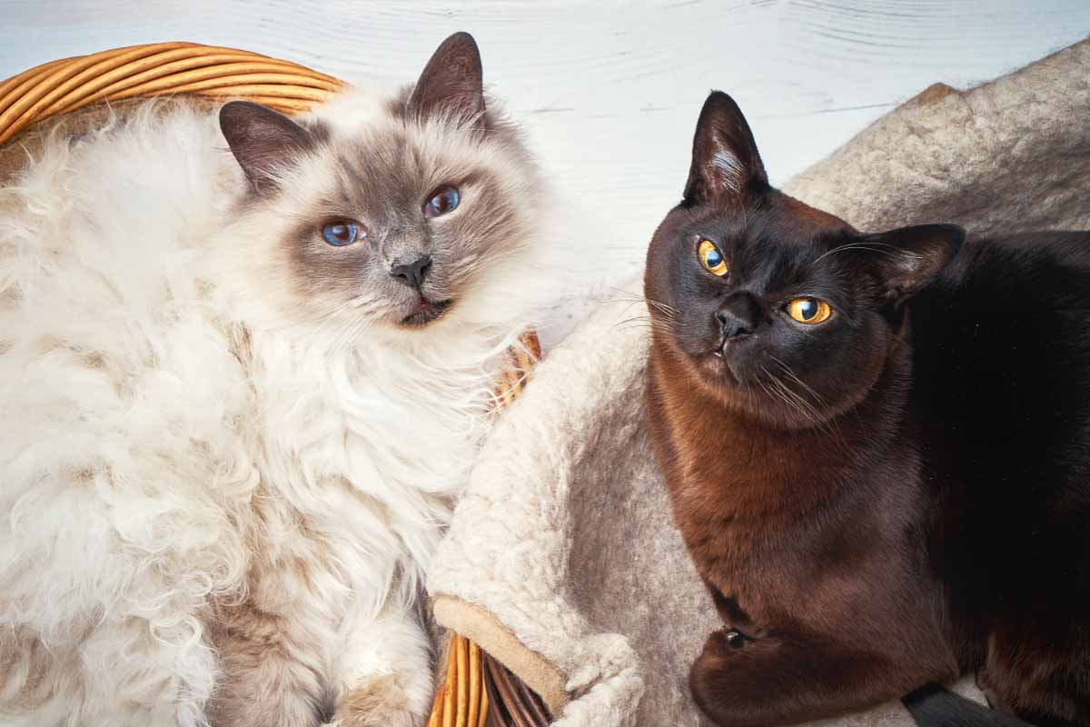 white and black burmese cat breeds that don't shed