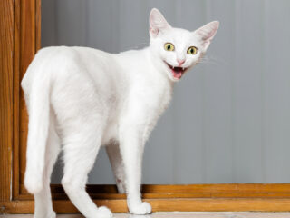 white cat with mouth open