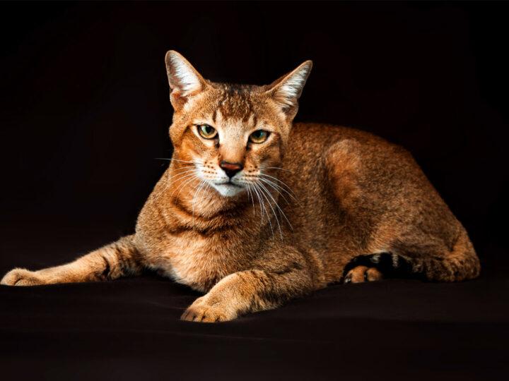 16 Largest Breeds of Cat