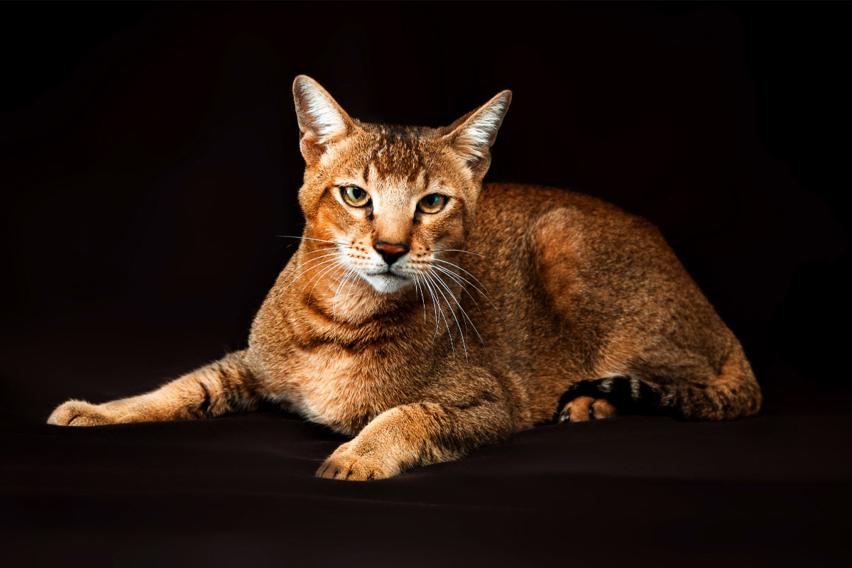 Chausie Tabby Cat