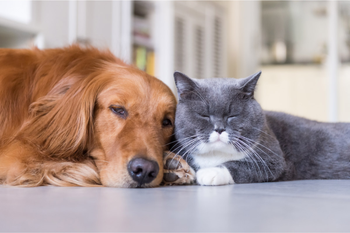 golden retrievers and cats