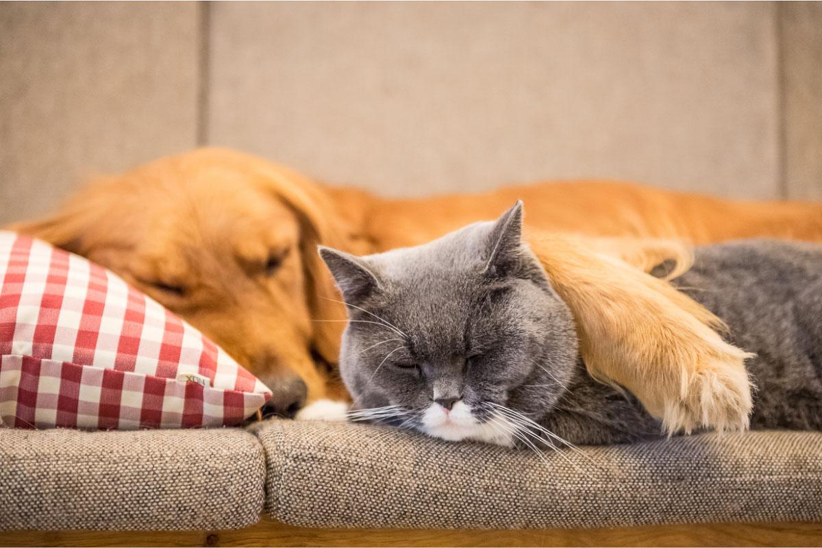 golden retriever dog and grey british short hair cat to
