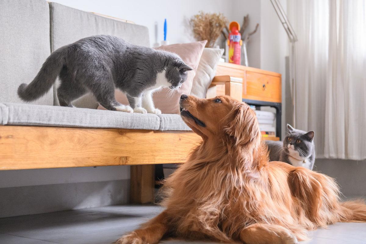 golden retriever dog and grey british short hair cats o