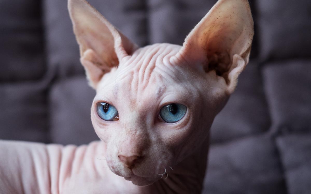 bambino cat blue eyes