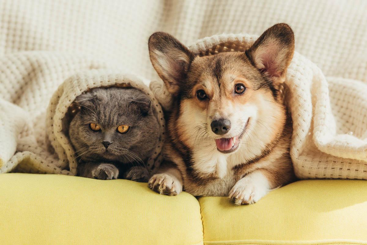 corgi and british shorthair cat under blanket