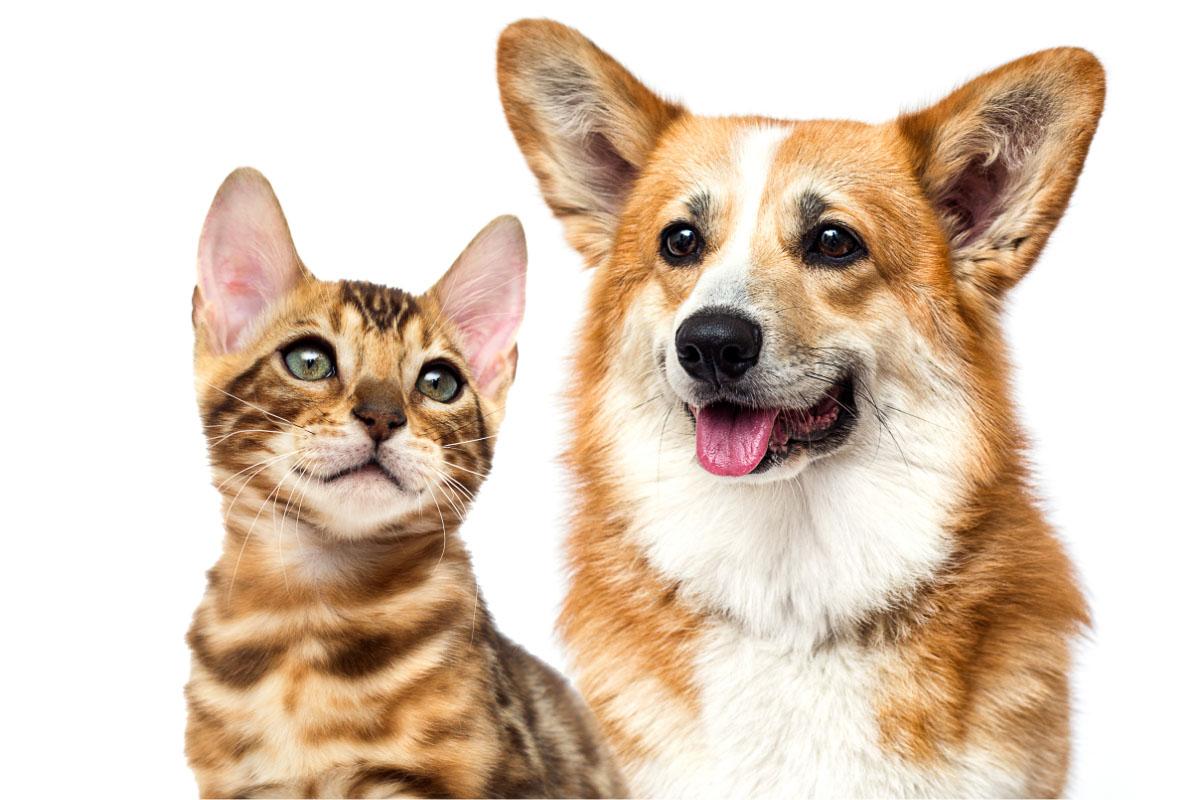 corgi dog and bengal cat