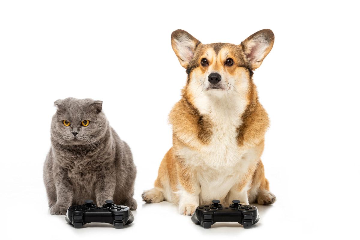 corgi dog and british short hair cat play video game