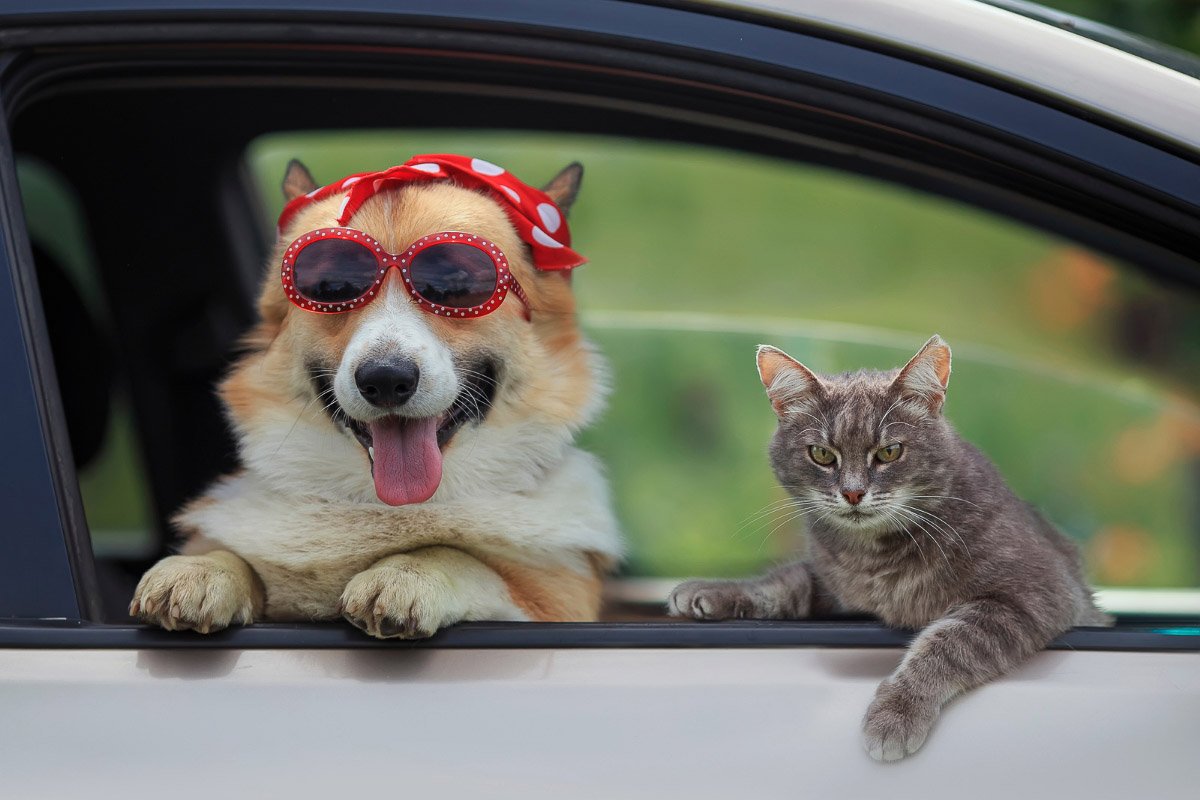 corgi in bandana and sunglases with grey cat in car