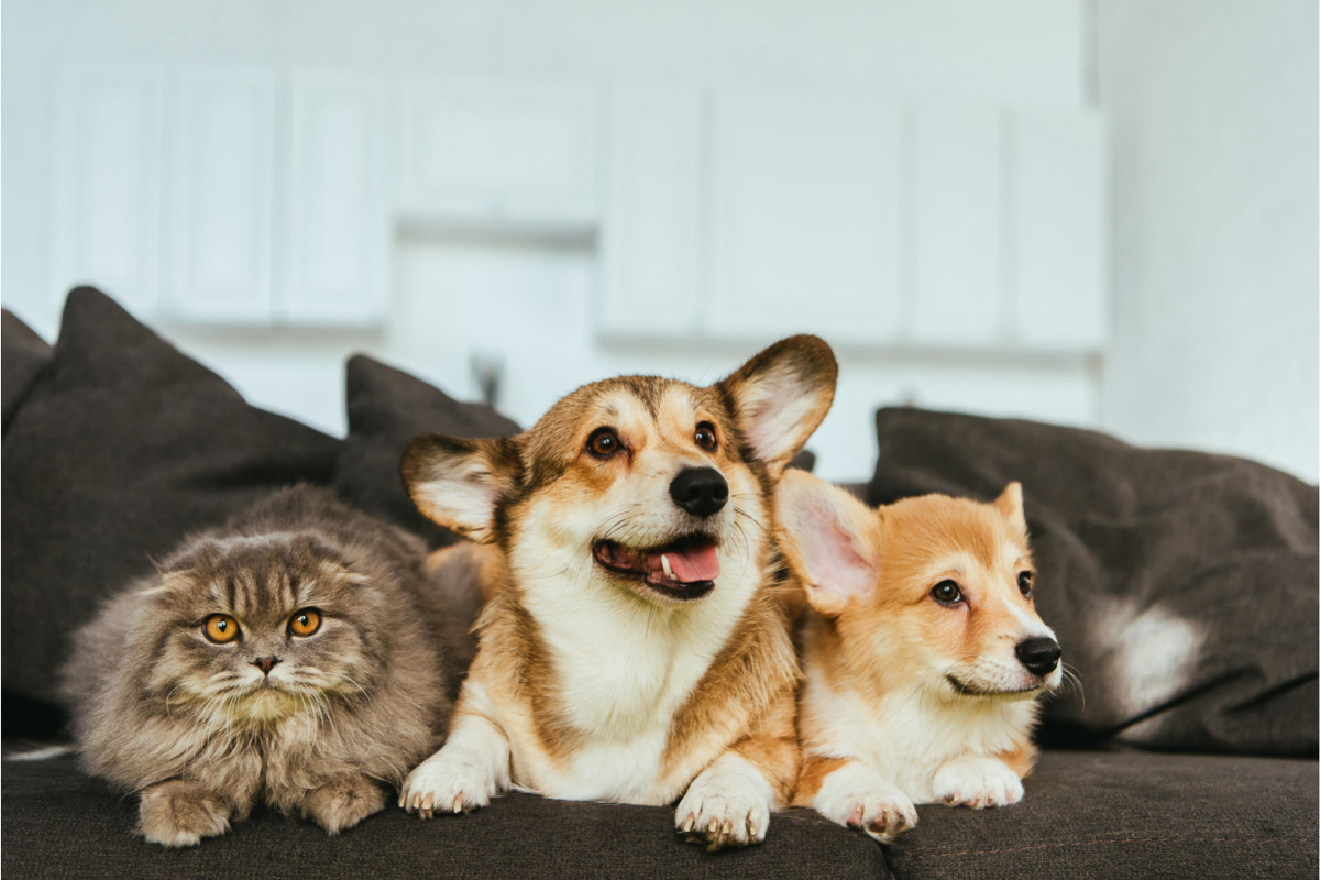 corgis and cats on the couch