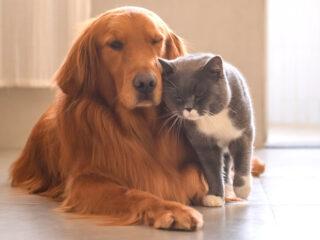 golden retriever dog and grey british short hair cat snuggling