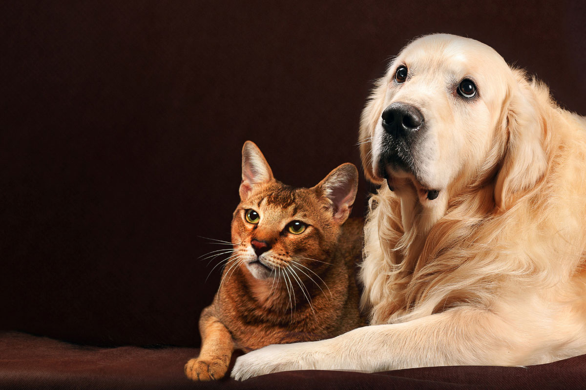 golden retriever dog with abyssinian cat