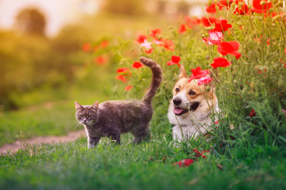 grey cat and corgi dog in a field with red flowers