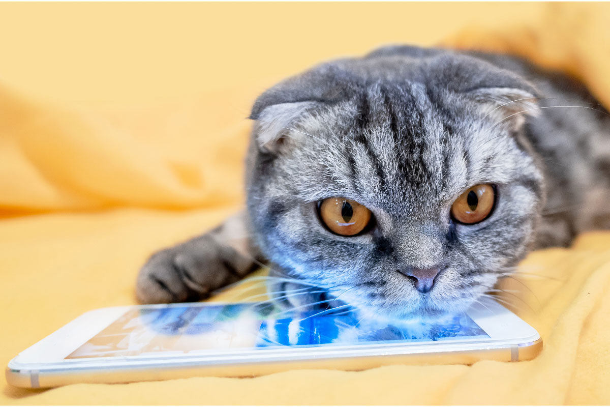 grey scottish fold with head on tablet