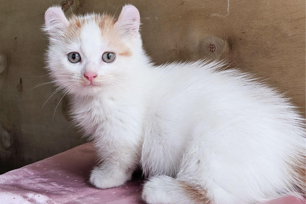 kinkalow cat