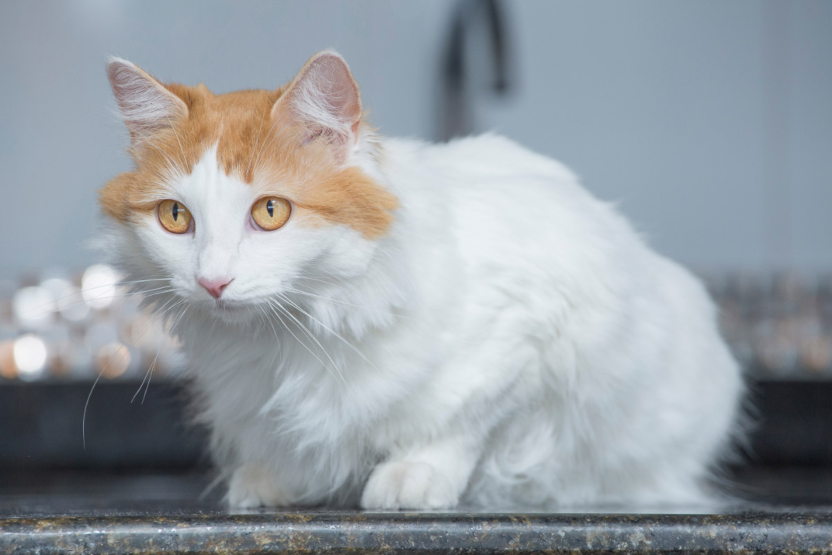 turkish van ginger and white cat largest breeds of cat