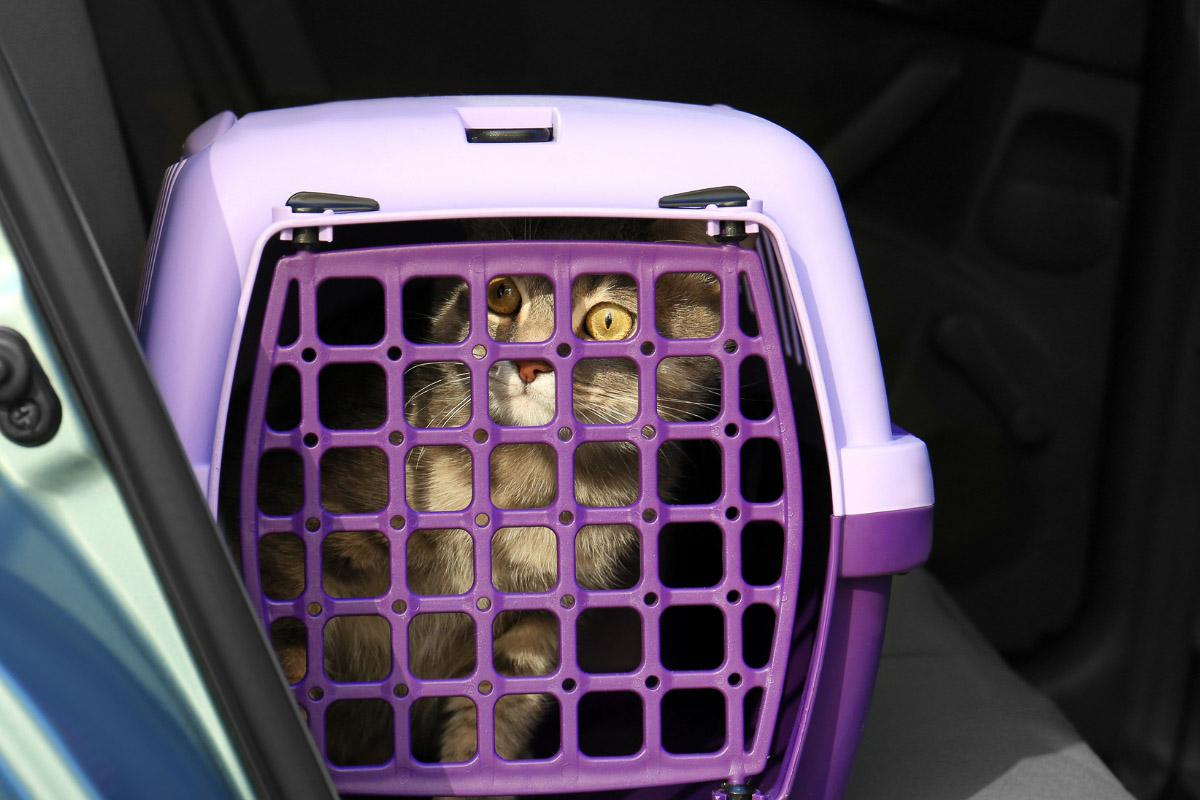 cat in purple cat carrier