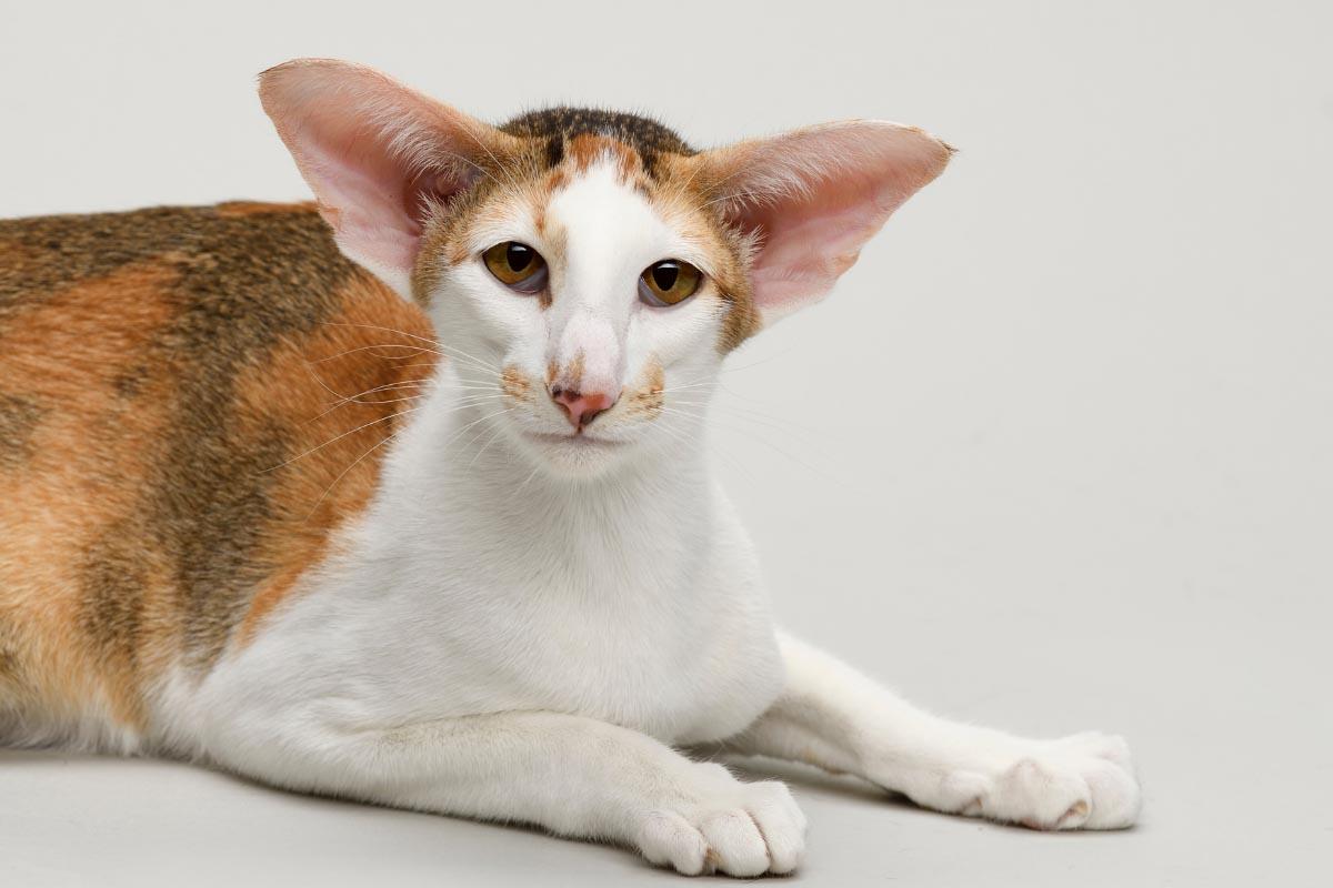 oriental shorthair cat breeds that are hypoallergenic