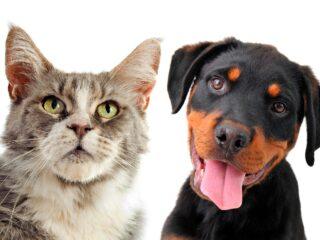rottweiler dog and grey cat