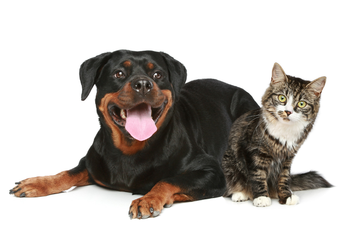 rottweiller dog with tabby cat nearby