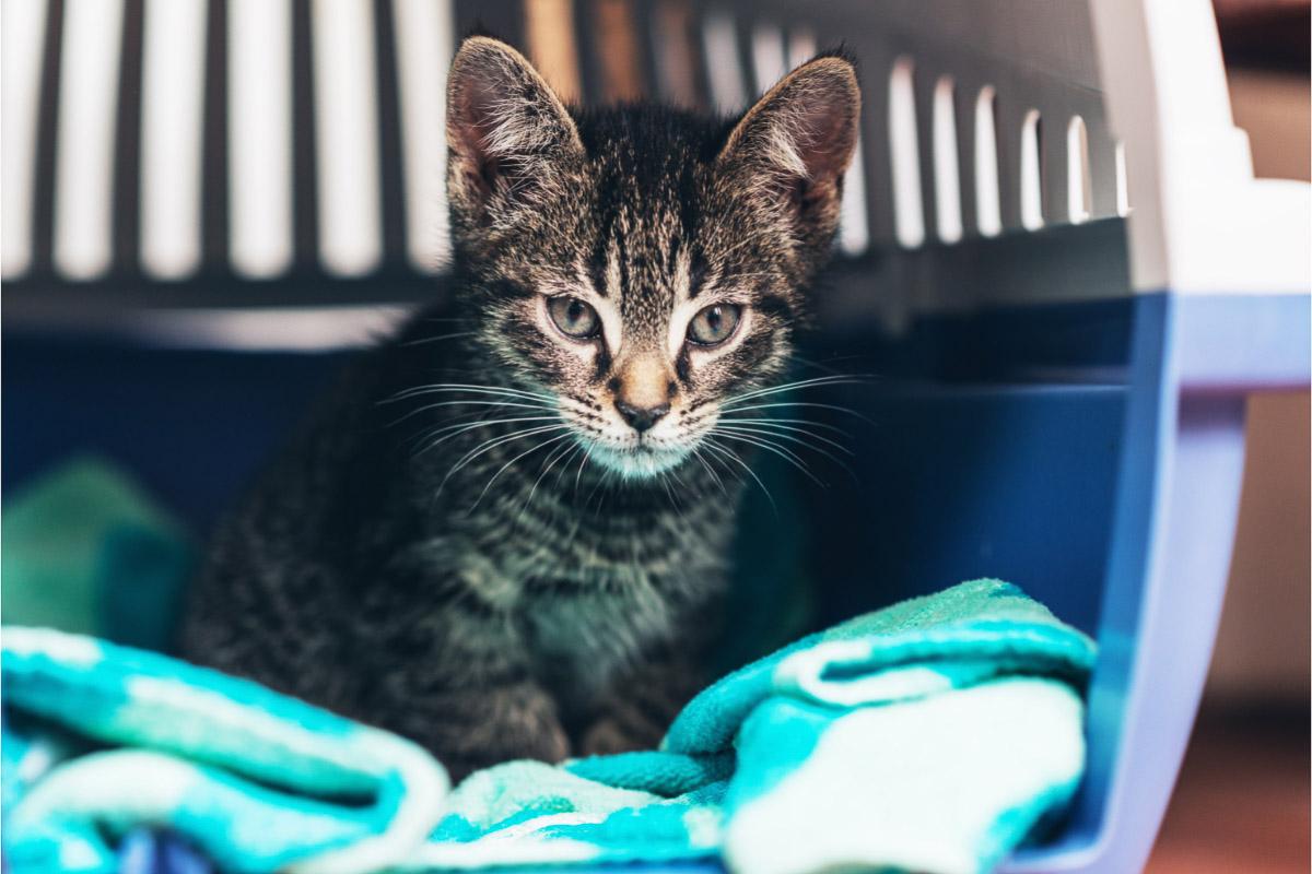 tabby cat in cat carrier