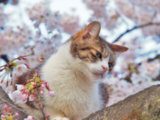 tabby cat with cherry blossoms in japan