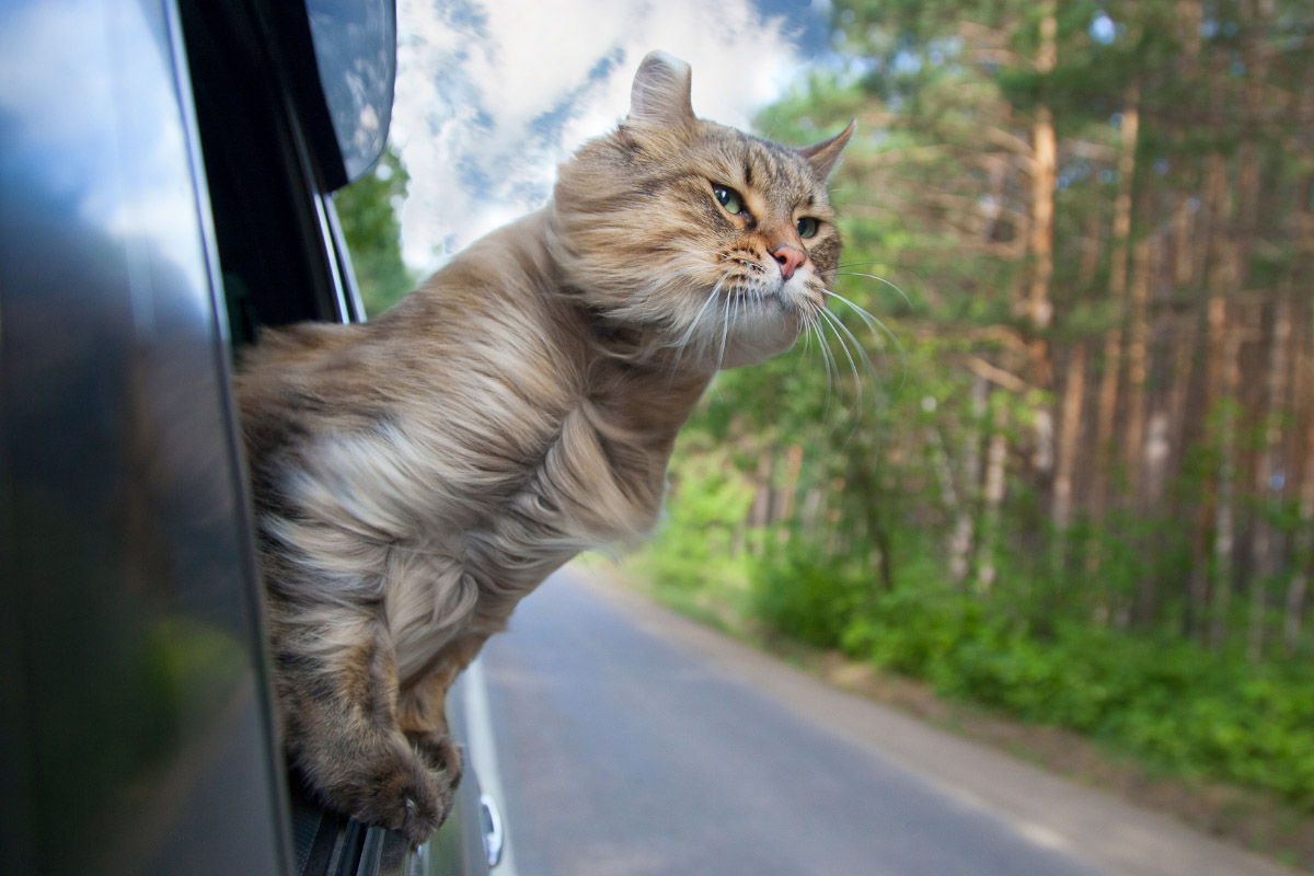 tabby cat with head out window of car