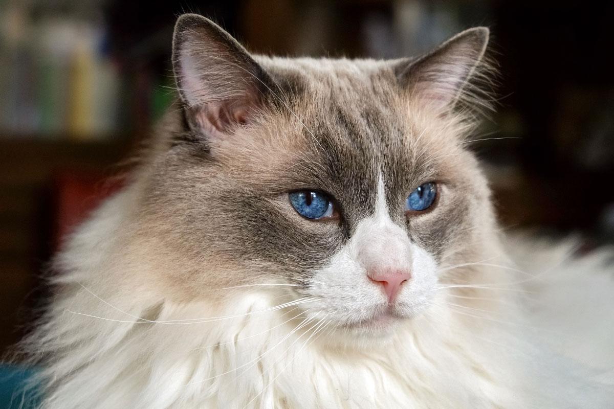 bi colour ragdoll cat