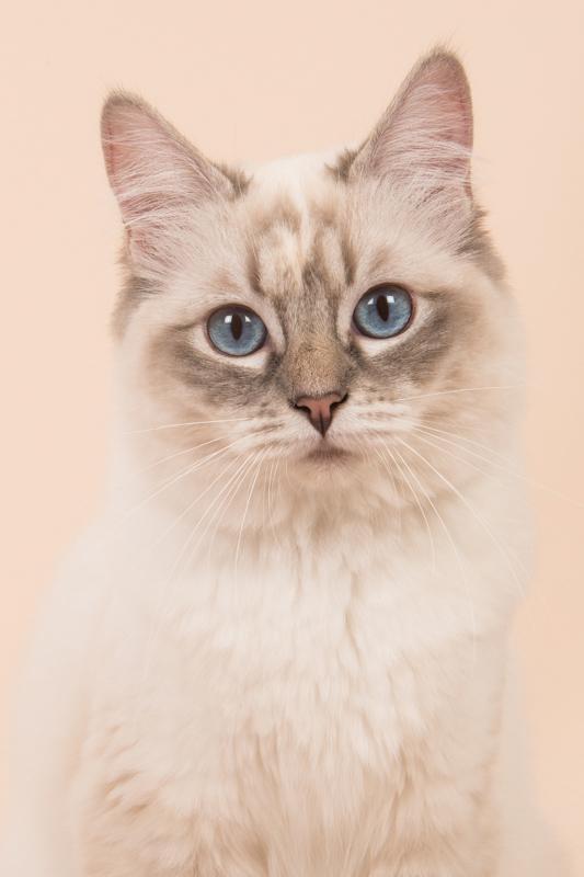 cream ragdoll cat