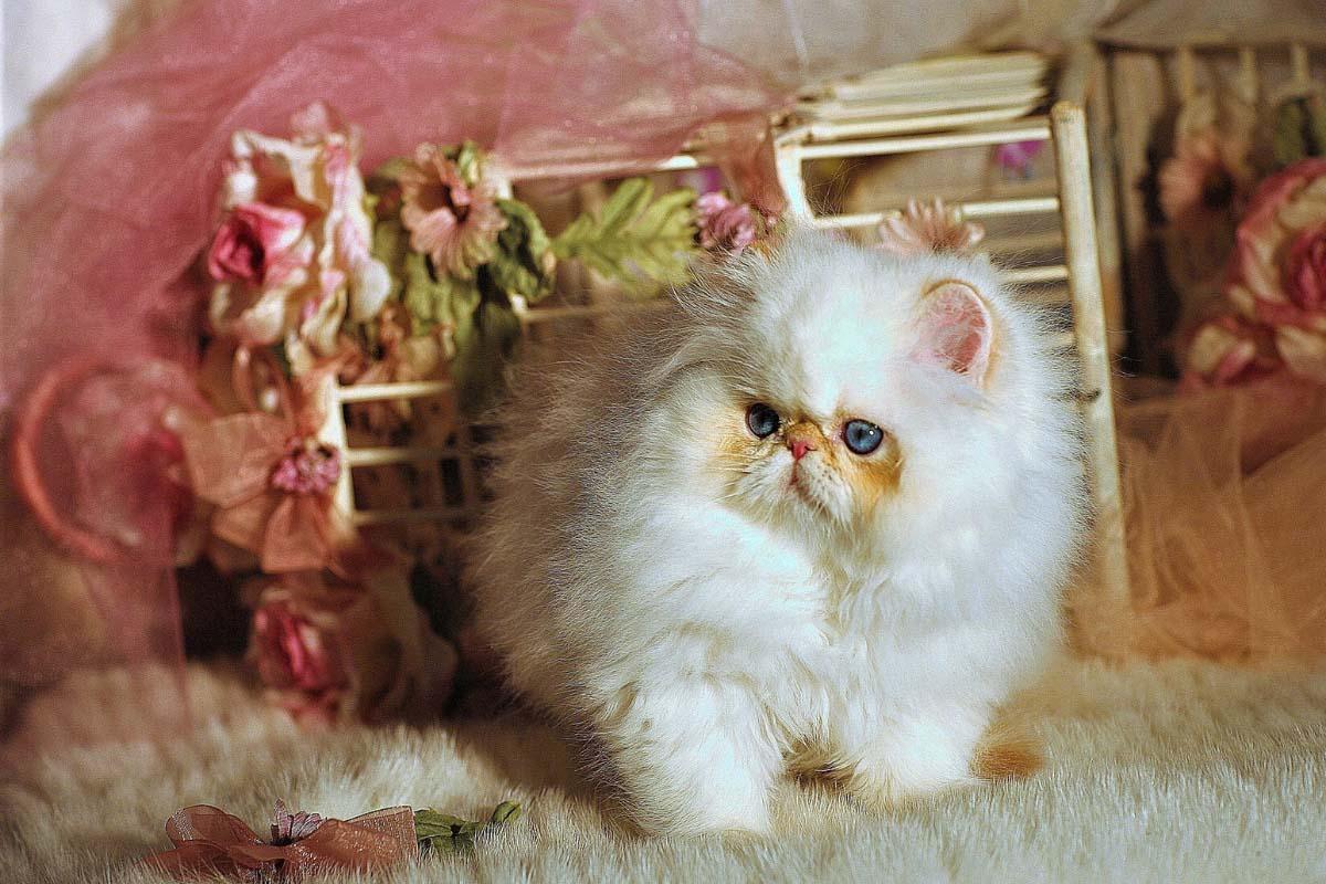 fluffy white napoleon cat