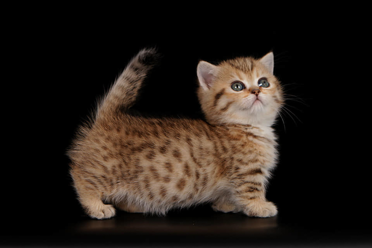 genetta cat 2
