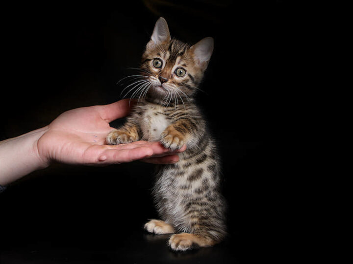Genetta Cat: 10 Things to Know About the Munchkin Bengal Mix