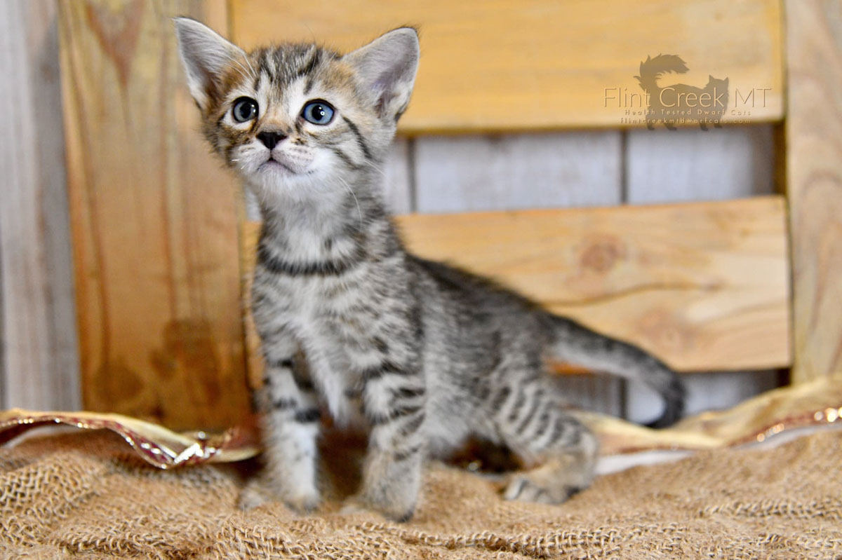 genetta cat grey