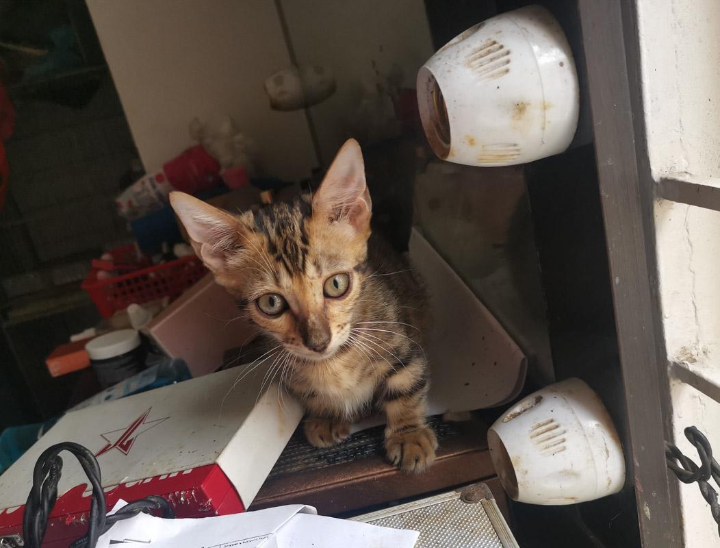 genetta cat with big eyes