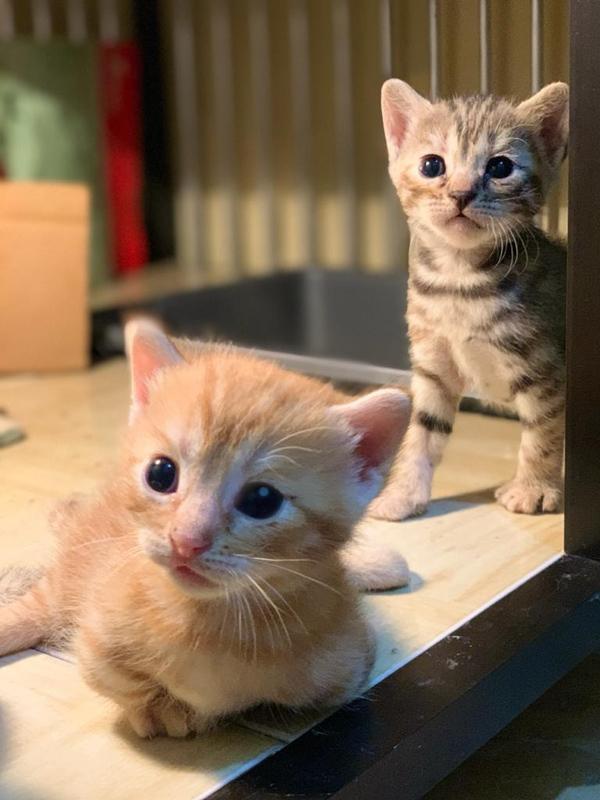 genetta kittens