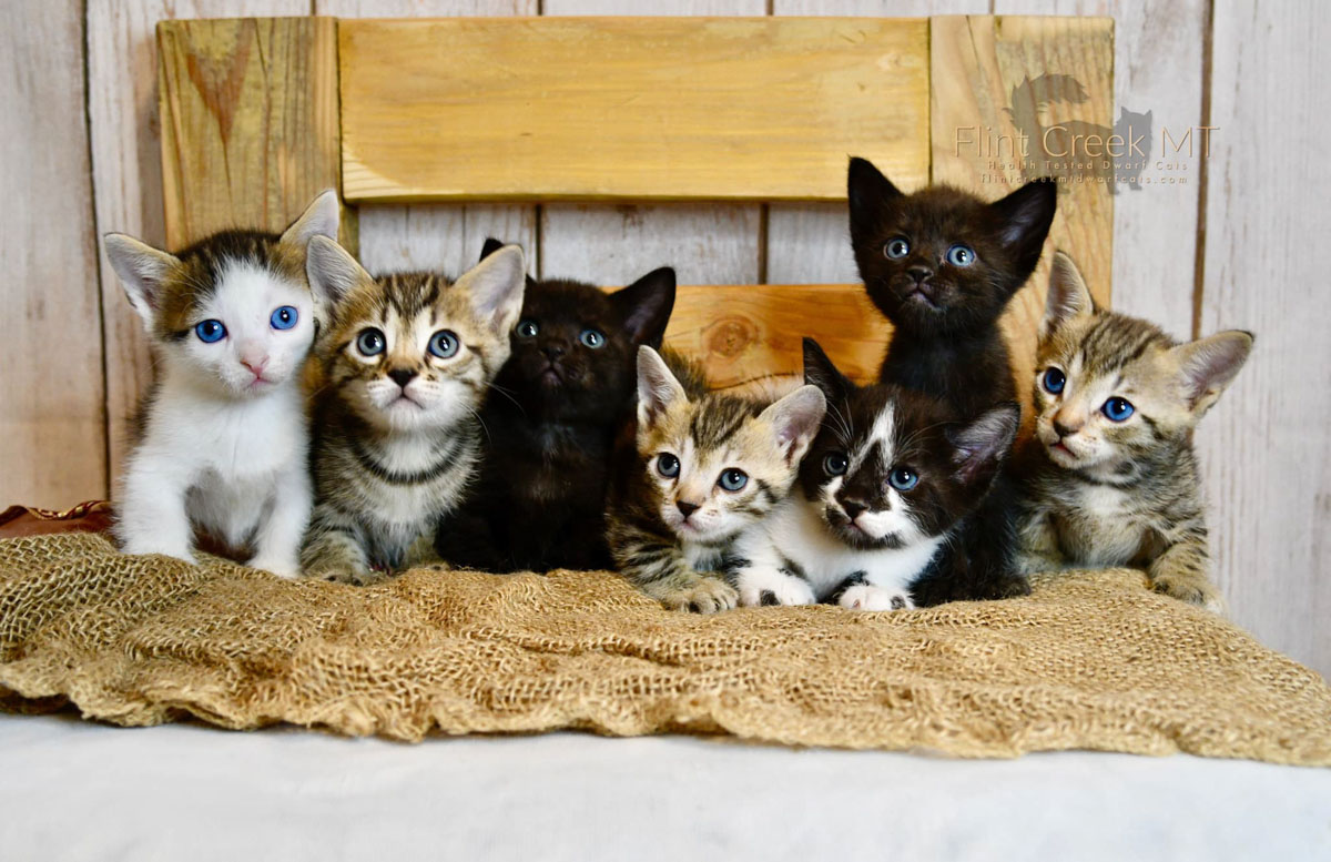 genetta kitties