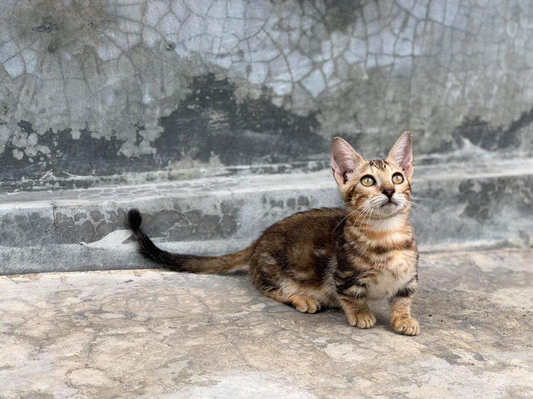 genetta tabby cat