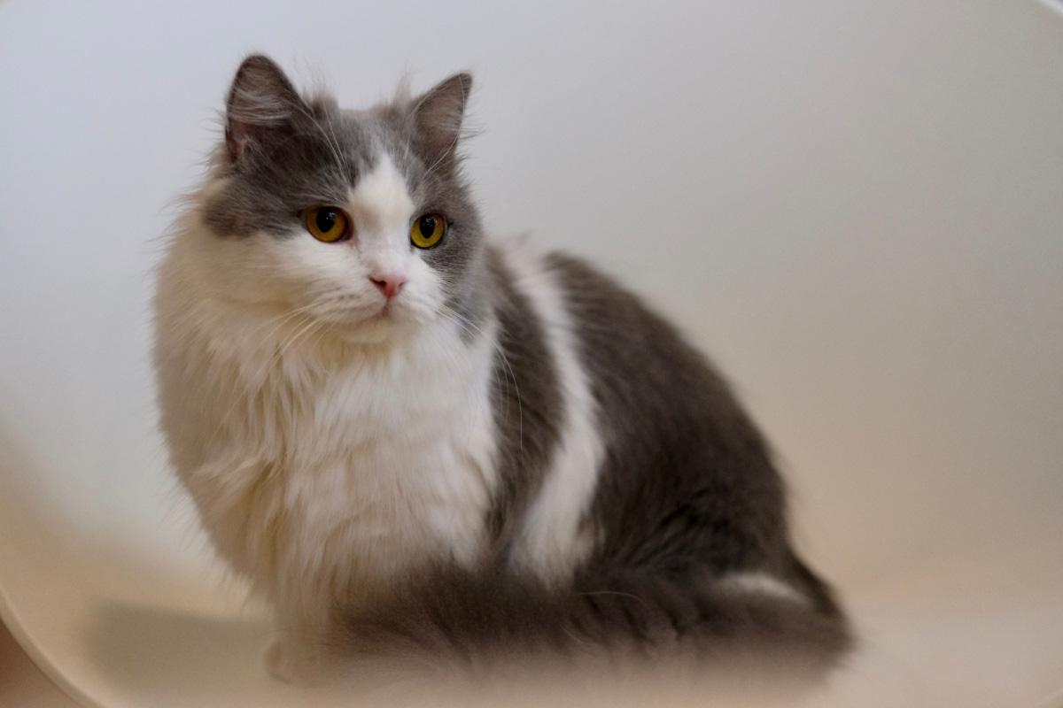 grey and white napoleon cat