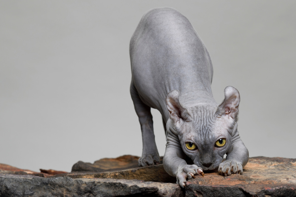 grey dwelf cat about to pounce