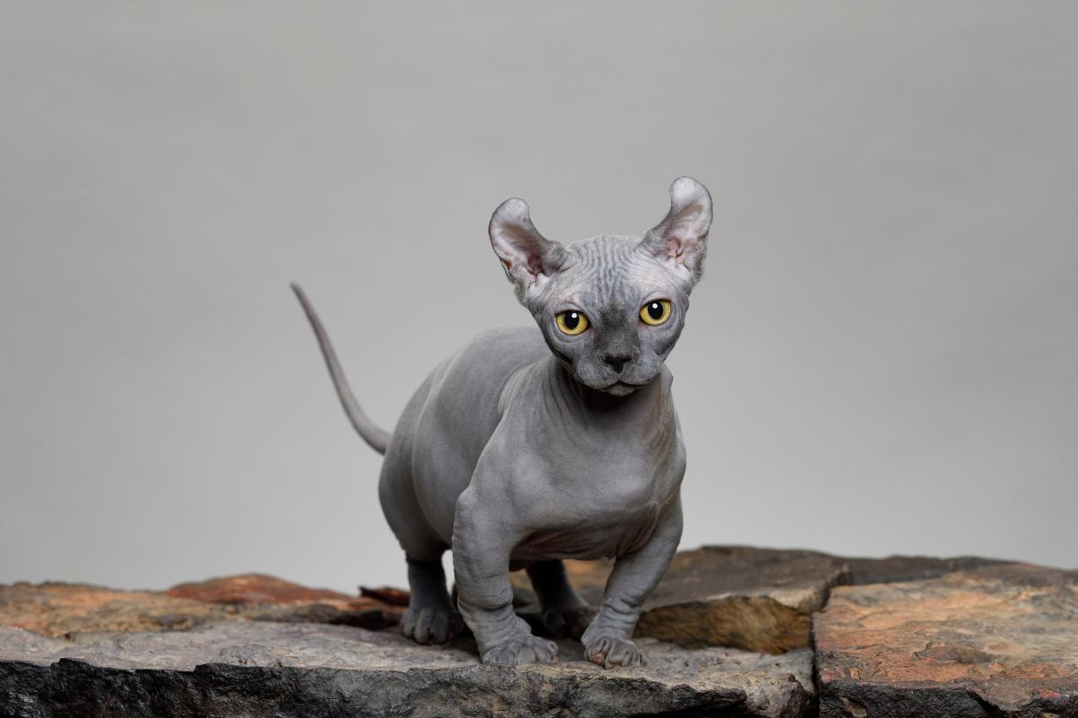 grey dwelf cat on wood