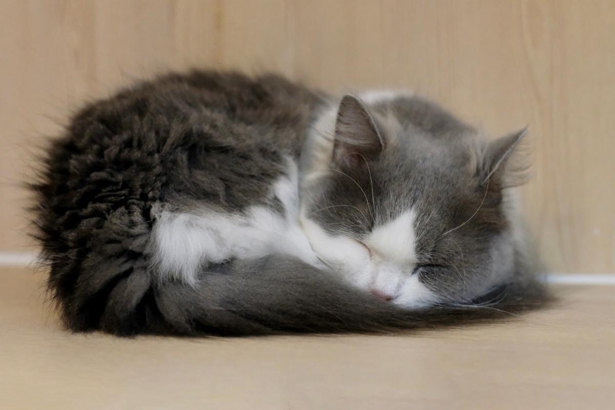 grey minuet napoleon cat