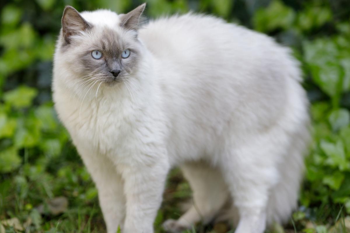 grey ragdoll cat
